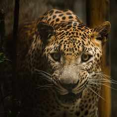 The Anger Leopard by Syahrul Ramadan on 500px