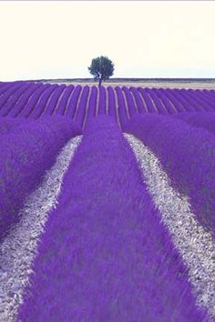 Provence France with Violet Purple fields of flowers