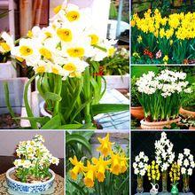 50pcs/bag Bonsai Seeds of Aquatic Plants Double Petals Daffodils Seed for Home Garden(China (Mainland))