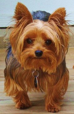 """""""My break out day!"""" #dogs #pets #YorkshireTerriers Facebook.com/sodoggonefunny"""