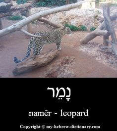 How to say Leopard in Hebrew. Includes Hebrew vowels, transliteration (written with English letters) and audio pronunciation by an Israeli. Hebrew Vowels, Genesis One, Learning A Second Language, Days Of Creation, Learn Hebrew, Learning Methods, Hebrew Words, Picture Story, Word Study