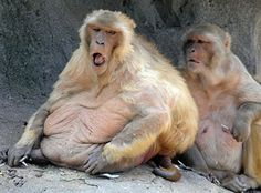 Friday Monkey | image 1 of 3 some visitors assume the roly poly monkeys are pregnant ...