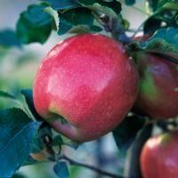 Northern Spy Apple - Apple Trees - Stark Bro's