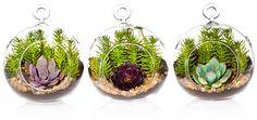 3-Pk Mini Succulent Terrarium Kit, Live