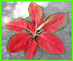 """New AGLAONEMA """"RED ELEPHENT LEAF """" New Variety SUPER RED Color RARE @@"""