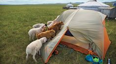 Western camper's tent in Mongolia -- the sheep were curious because it was unlike a traditional yurt