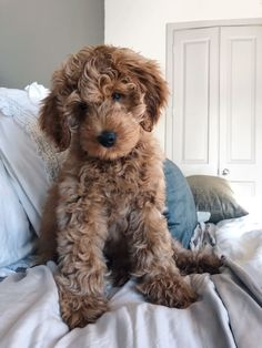 cavapoo puppy & cavapoo welpe You are in the right place about tough Dog Toys Here we Super Cute Puppies, Cute Baby Dogs, Cute Little Puppies, Cute Dogs And Puppies, Cute Little Animals, Doggies, Chien Goldendoodle, Cavapoo Puppies, Goldendoodles