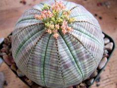 Euphorbia obesa - Basketball, Sea Urchin, Living Baseball, Golf Ball