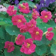 Indiankrasse 'Jewel Cherry Rose'