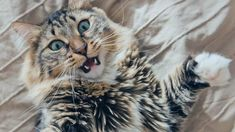 From nail biting to that crazy chatter, we're pulling back the curtain on strange things cats do Crazy Cat Lady, Crazy Cats, Large Domestic Cat Breeds, Diy Cat Tent, Sneaky Cat, Buy A Kitten, Cat Biting, Cat House Diy, Cat Run