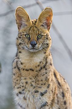 **Male serval sitting and looking at me by Tambako the Jaquar