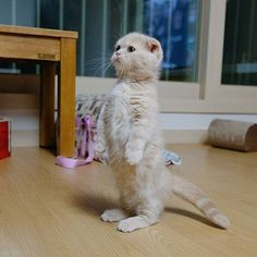 it) submitted by KevlarYarmulke to /r/CatsStandingUp 18 comments original - - Cute Kittens - LOL Memes - in Clothes - Kitty Breeds - Sweet Animal Pictures Cute Cats And Kittens, I Love Cats, Crazy Cats, Kittens Cutest, Kitty Cats, Pet Cats, Cute Baby Animals, Funny Animals, Funny Cats