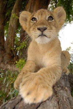 awwww baby lion
