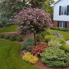 Palibin Lilac, Tree Form