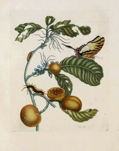 Maria Sibylla Merian - Swallow-tailed Butterfly & Passion Flower - 1719. From Metamorphasibus Insectorum Surinamensis