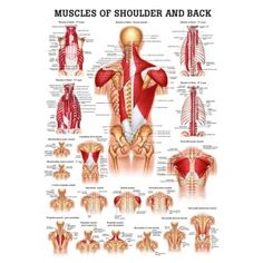 Anatomy Poster Muscles of the Shoulder & Back