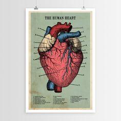 The Human Heart Poster - Walls Need Love - Artwork : JackThreads Heart Anatomy, Anatomy Art, Human Anatomy, Brain Anatomy, Anatomy Drawing, Brain Poster, Heart Poster, Anatomical Heart, Human Heart