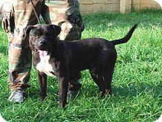 Louisville, KY - Mastiff. Meet KANO, a dog for adoption. http://www.adoptapet.com/pet/13605058-louisville-kentucky-mastiff