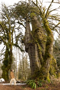 San Juan Spruce - Canada's Largest Spruce Tree! East of Port Renfrew, BC on Vancouver Island. The towering tree measures 38.3' in circumference, reaches 205' tall, and has a crown spread of 75'. By volume it contains 333 cubic meters of wood which is equal to 333 telephone poles!