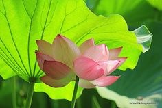 Rurousha 流浪者: Lotus flowers: when Buddha danced on Shinobazu Pond