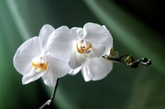 Larissa Davydova Photograph - White Orchid by Larissa Davydova  #LarissaDavydova #FineArtPhotography #WhiteOrchid #ArtForHome  #FineArtPrints #InteriorDesign #Canvas #FramedPrints #Prints #AcrillicPrint #MetallPrint #PhoneCasses #GreetingCards #PrintsForsale #BuyArtOnline