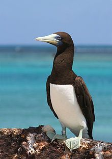 "Brown booby (Sula leucogaster) : P.57 ""When standing on the ground it looks as if it had on white trousers and a brown cutaway coat and vest."" Young are grey-brown; nests on ground."
