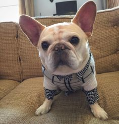 the daily walter cronkite, French Bulldog
