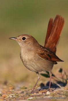 Luscinia megarhynchos - Common nightingale