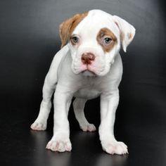 American Bulldog    JustPuppies.net
