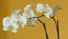 Orchidea (novenytar.krp.hu)
