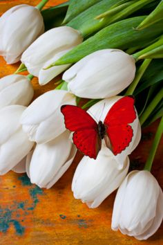 Red butterfly on white tulips, still life