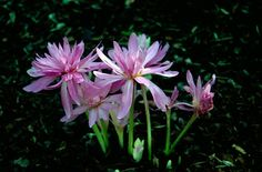 RHS Plant Selector Colchicum 'Waterlily' (d) AGM / RHS Gardening