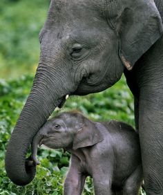 Baby elephant and its mother