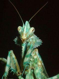 Adult female Blepharopsis Mendica (Thistle/Devil's flower/Arab mantis)