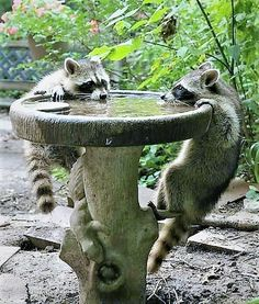 Baby Raccoons struggling to get a drink from the bird bath.