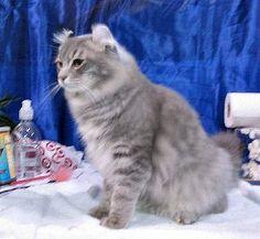 American Curl Cat Names