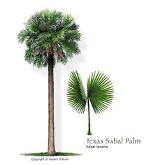 Texas Sabal Palm (Mexican Palmetto)