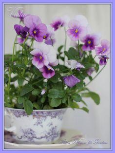 Pansies or Violas in a tea cup Flower Arrangements, Flower Garden, Purple Flowers, Pretty Flowers, Bloom, Plants, Pansies, Beautiful Flowers, Sweet Violets