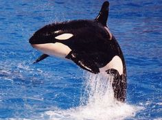 Killer whale... so beautiful that i have it tattooed on my ankle