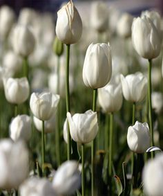 Inzell Tulip - Set of Ten