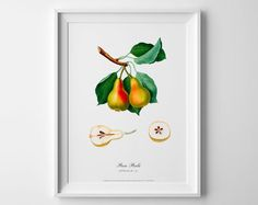 Pear Botanical vintage art poster picture antique home geclee print wall cubicle decor image wall print cubicle decor drawing watercolor art