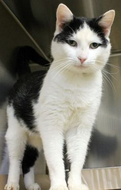 Available: 11/18 NAME: Nick  ANIMAL ID: 24318858 BREED: DSH  SEX: Male  EST. AGE: 3 yrs  Est Weight: 8.11 lbs Health:  Temperament: friendly  ADDITIONAL INFO:  RESCUE PULL FEE: $39
