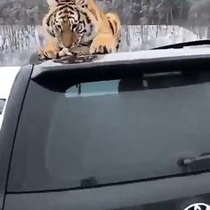 Home - Animal on Planet Cute Wild Animals, Cute Funny Animals, Animals And Pets, Cute Cats, Cute Little Puppies, Cute Dogs And Puppies, Majestic Animals, Animals Beautiful, Tiger Video