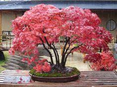 Japanese maple. Tree name: Musashi-ga-oka