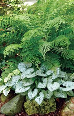 lovely pairing for the shade - Brighten up your shade garden with this lovely combo! -A lovely pairing for the shade - Brighten up your shade garden with this lovely combo! Ferns Garden, Shade Garden Plants, Plants For Shade, Partial Shade Plants, Shaded Garden, Blue Plants, Potager Garden, Colorful Plants, Back Gardens
