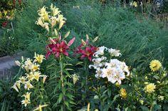 Lilii -  RS Garden foto