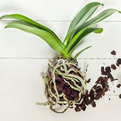 Se+la+tua+orchidea+appare+sofferente+e+soprattutto+non+rifiorisce+potrebbe+essere+perché+il+substrato+in+cui+è+piantata+ha+perso+i+suoi+valori+nutritivi.+In+questo+caso+è+necessario+un+rinvaso,+meg