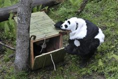 Tao Tao the Giant Panda was transported 90 minutes away from her her current home at the Wolong National Nature Reserve in the Sichuan province of China Panda Costumes, Panda Love, Nature Reserve, Creepy, Pony, Funny Pictures, Hilarious, China, Animals