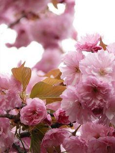 Prunus serrulata 'Kanzan' Potted Plants, Garden Plants, Dream Garden, Home And Garden, Peonies, Ranunculus, Prunus, Trees And Shrubs, Garden Inspiration