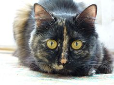 Tortoiseshell Cats Picture Gallery: Pif